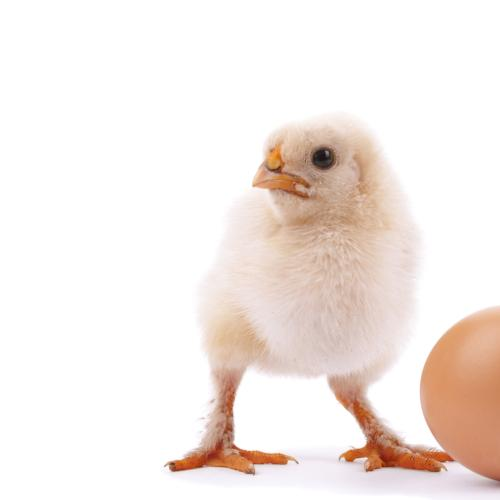 Finally Answered!! What came first, the chicken or the egg?