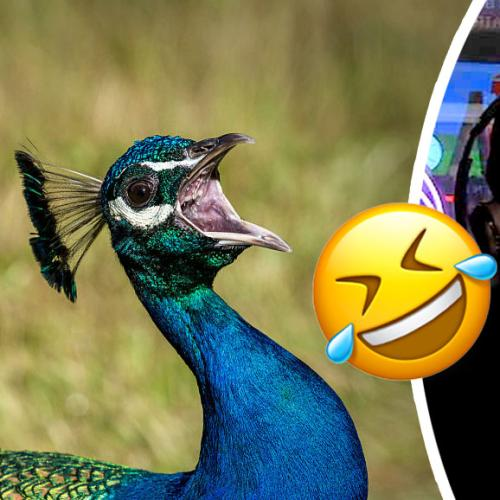 Kyle's Peacocks Can Say 1 Word... And It'll Give You Nightmares!