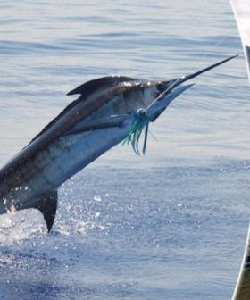 Crazy Triple Zero Call During Freak Fishing Accident Where Man Was Speared By Wild Marlin