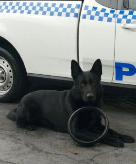 Police Dog Tracks Down Prisoner Who Escaped From NSW Hospital