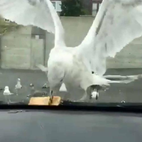 Watch Seagull Swallow Entire Apple Pie In One Go
