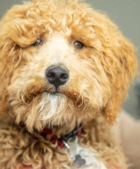 Aussie Creator Of The Labradoodle 'Regrets' The Breed