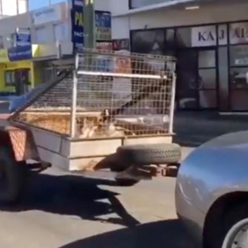 The Reason This Lamborghini Was Towing Goats Around Sydney!