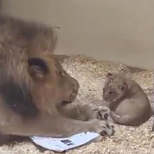 The Heartwarming Moment A Lion Crouches Down To Meet His Baby Cub For The First Time