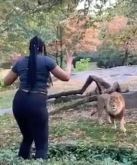 Terrifying Moment Woman Climbs Into Lion Enclosure And Taunts The Animal
