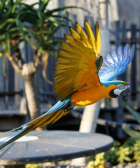 Aussie Zoo's 19-Year-Old Macaw Parrot Goes Missing