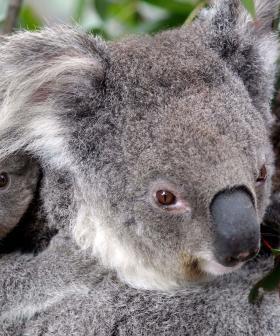 Over 2000 Koalas Feared Dead In State's Bushfire Crisis