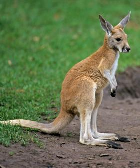 Kangaroo Dies After Being Punched By NSW Man