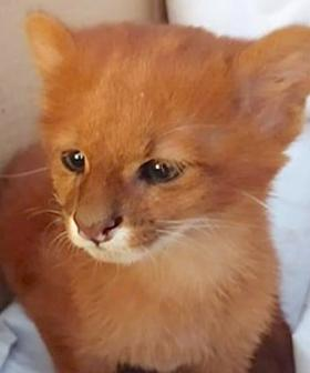 Woman Adopts Abandoned Kitten Only To Discover He's A Wild Puma Months Later