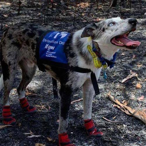 Bear, The Dog That Helped Rescue Koalas During Bushfires, Gets His Own Documentary