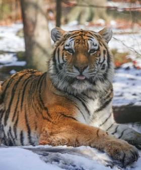 A TIGER Has Tested Positive For Coronavirus And What Does That Mean For Your Pet?