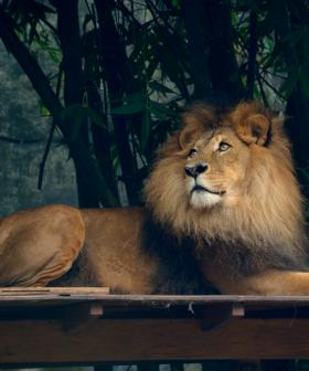 Zookeeper Attacked By Lion At NSW Zoo