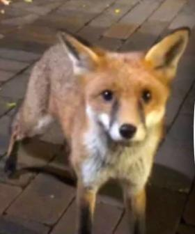 Several Students Bitten By Fox At UNSW