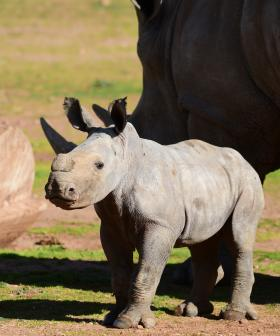 You Have To See This Video Of Monarto's New Baby Rhino Doing Zoomies With Her Mum