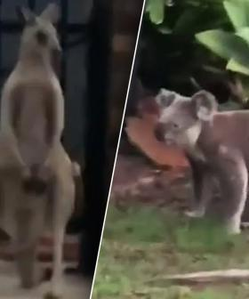 Kangaroo Takes On Koala In True Blue Aussie Brawl