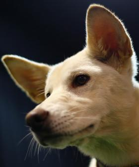 Dingo On The Loose In Sydney's West