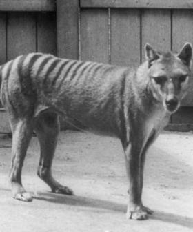 Aussie Man Reveals Footage Of What He Claims Are Living Tassie Tigers